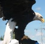 Mendota Dakota Pow Wow Eagle