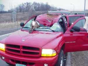 Deer Auto Accidentphoto: howlingforjustice.wordpress.com